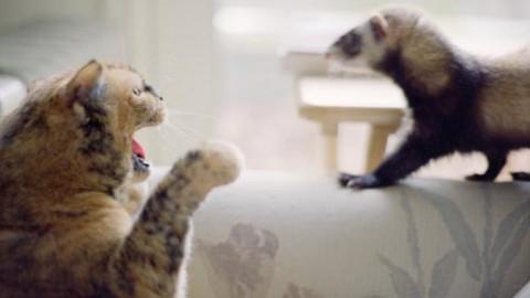 e greu sa obisnuiesti un dihor cu un caine sau o pisica?