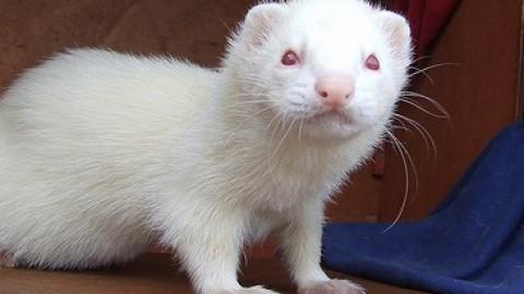 dihorul alb (albino)